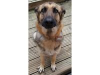 German Shepherd needs a new home