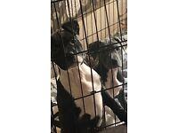 XL Bully cross pups