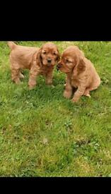 Show type cockier Spanial puppies