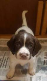 Gorgeous Springer spaniel puppies