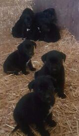 Labrador xLurcher
