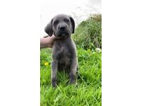 Blue cane corso puppies ready to leave now