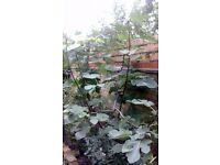 5 ft Fig Tree