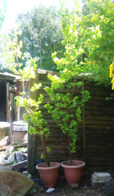 Two Golden Elm trees in pots. Approx 2 and 3 metres tall (will split). See photos.