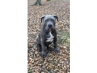 American xl bully abkc registered male