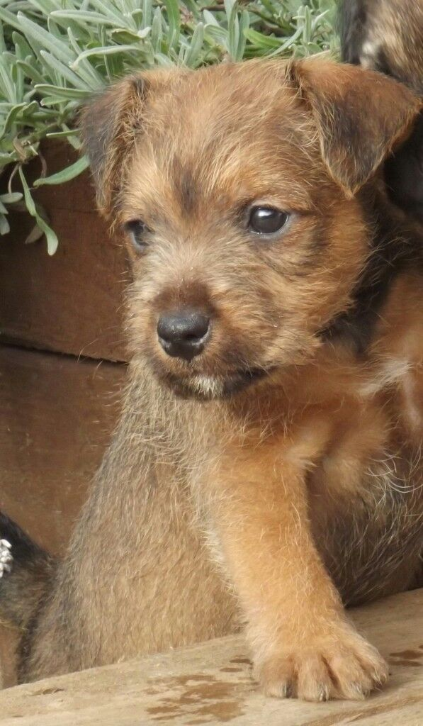 Lakeland terrier pups | in Durham, County Durham | Gumtree