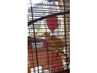 2 healthy and happy canaries, 6 months old, looking for new home