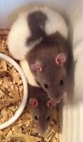 I have many rats that need homes! Pets or breeders!
