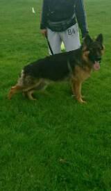 Stunning male German Shepherd