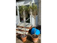 2 x Standard Olive Trees, nearly 6ft high in terracotta pots