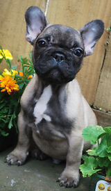 Superb Fawn French Bulldogs ready now!