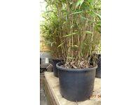 Huge specimen bamboo plant - for patio or garden