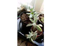 Panda plant kalancloe tormentosa succulent