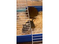 2 Girbils (males) £40 includes full set up.