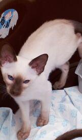 Siamese male kittens