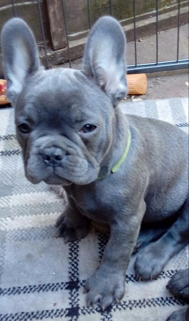 1 Stunning Male Solid Blue French Bulldog Puppy In Rayleigh Essex