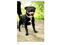 Rehomeing Staffordshire bull terrier x3