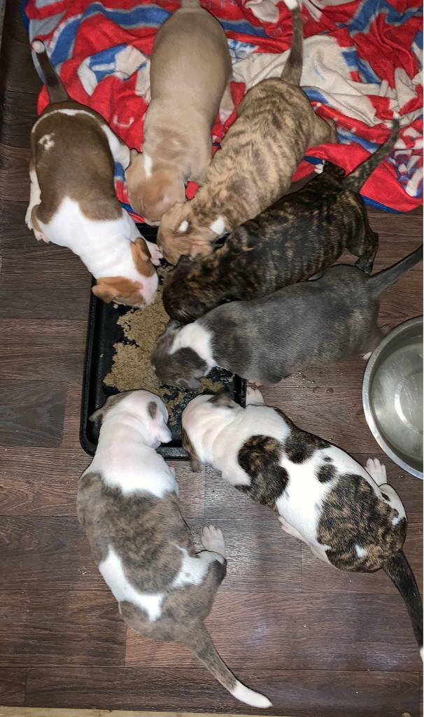 American bulldog x staff | in Hucknall, Nottinghamshire ...