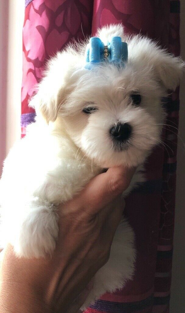 Maltese Non Moulting Tiny Small Puppies
