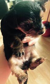 Yorshire Terrier 5 gen pedigree papers boy(£350) girl(£400)