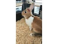 Mini Lop 14 week Rabbit & Cage. Everything you need.