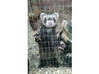 Small strain ferrets for sale