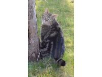Missing tabby cat (Ziggy) REWARD OFFERED FOR SAFE RETURN