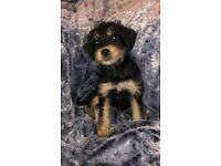 Beautiful jackapoo puppies for sale-these pups now need a forever home