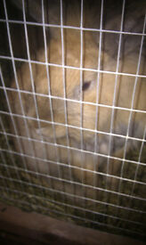 2 tier hutch and run with 2 male rabbits one brown one white brown