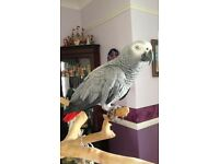 Lost Africa Grey Parrot!