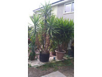 large yucca plants for sale to good home