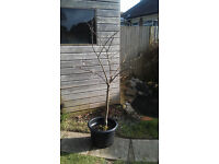 Conference Pear Tree in Pot £25