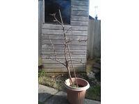 Braeburn Apple Tree in Pot £20