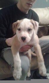 Johnson bulldog puppy for sale