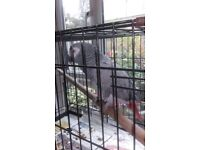 African Grey Parrot and Cage Croydon