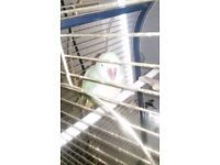 Famale alexandrine parrot