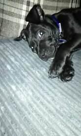 Rocko 11 week staf puppy