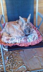 2 male rabbits , free