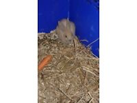 8 week old baby rabbit