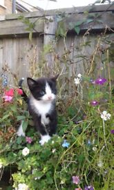 Adorable Kittens available,ready now ! 8weeks old born 23rd July.....all boys.