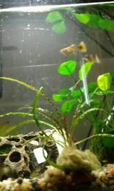 Guppies for sale tropical fish