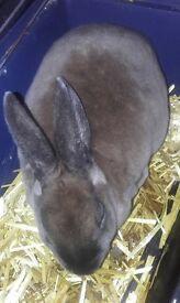 2x velvet female rabbits