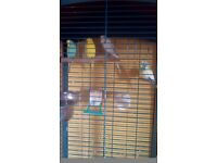 4 budgies for sale, 1 male 3 female all three months old with 5foot cage