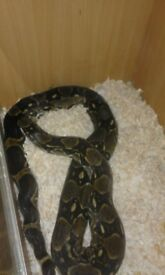 Snake for sale with viv