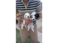 Jack Russell × Chihuahua puppies