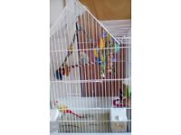 Female budgie, cage and toys.