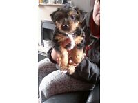 jack Russell cross Yorkshire terrier puppy