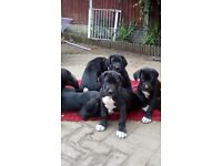 ready now great dane pups