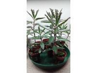 Kalanchoe Plants & Seeds - Healthy Healing Succulents