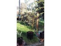 Lovely large Bamboo plant over six feet tall.